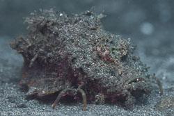 BD-151224-Dauin-9665-Inimicus-didactylus-(Pallas.-1769)-[Bearded-ghoul].jpg